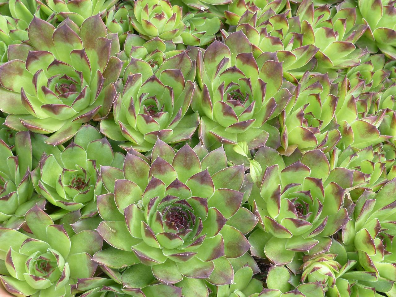 houseleek, plant, leaves
